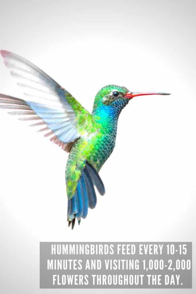 hummingbird feeding many times per day