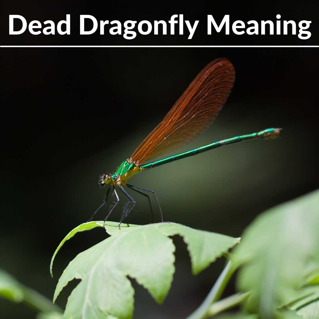 dead dragonfly meaning