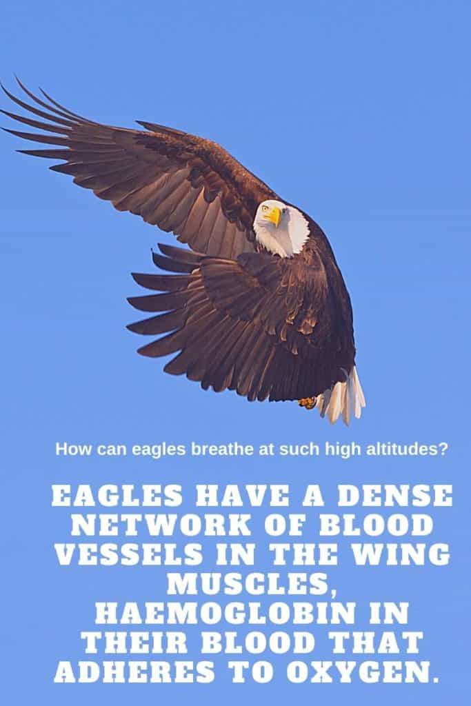 eagles breath at height
