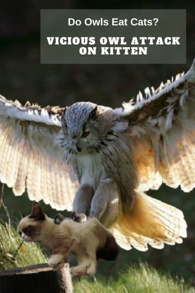 owl attacks kitten