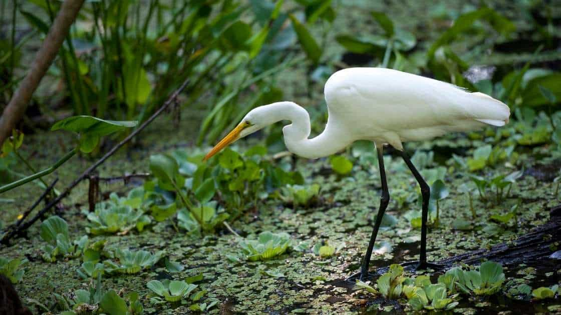 white Ibis meaning