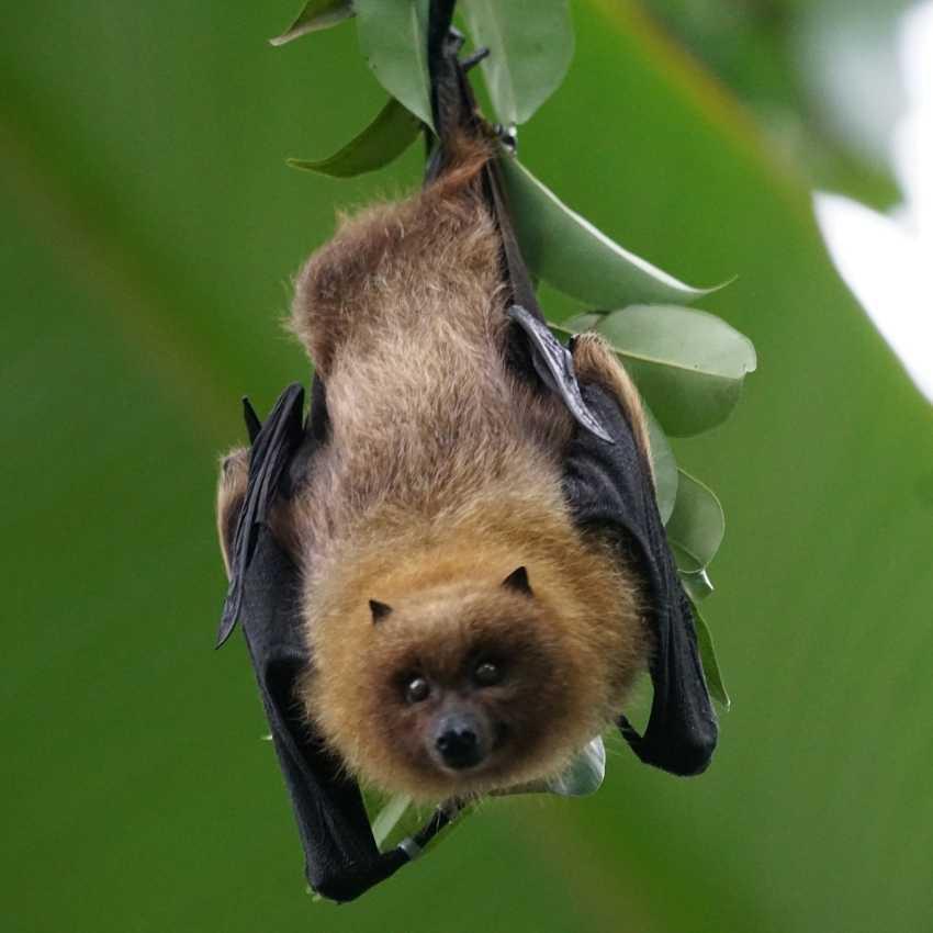 Bat That Represent Wisdom