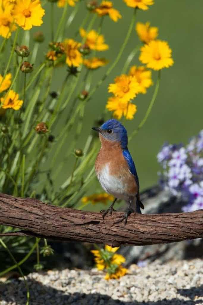 Bluebirds in Dreams
