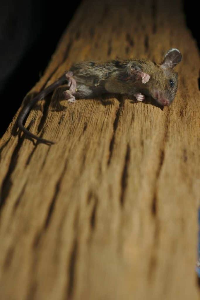 dead mouse in dream meaning
