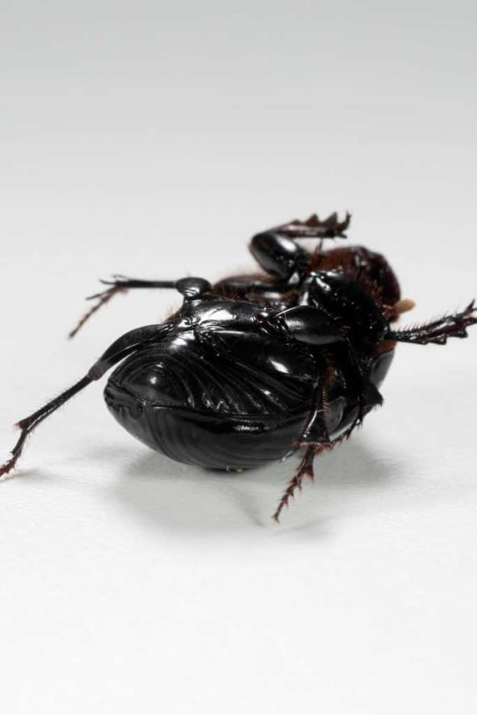 Dead beetle spiritual meaning