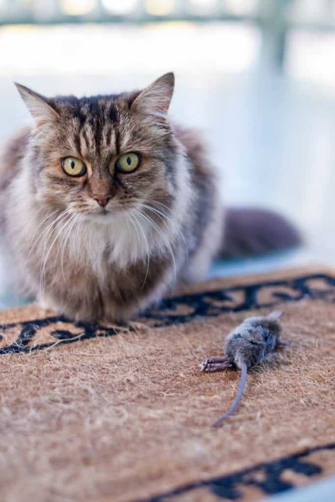 Dead mouse Meaning in different cultures