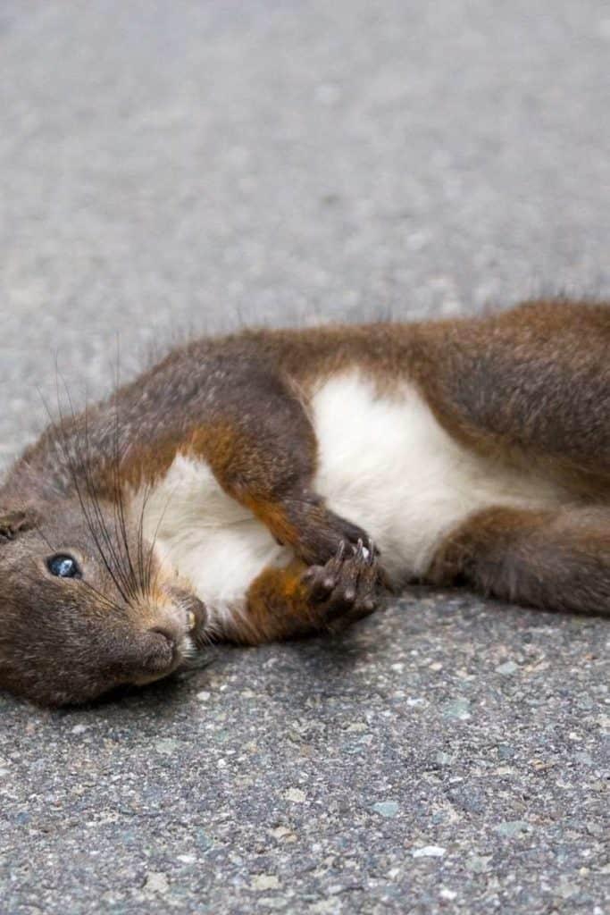 Dead squirrel dream