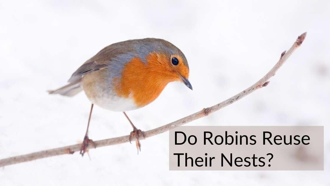 Do Robins Reuse Their Nests