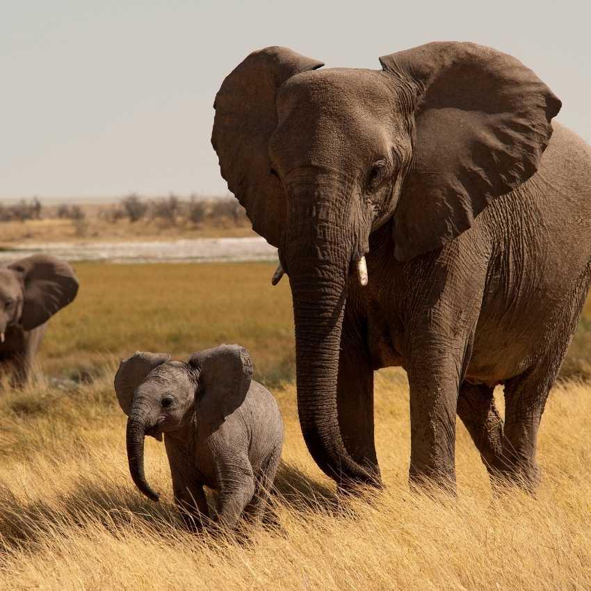 Elephant That Represent Wisdom