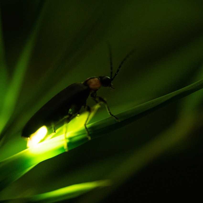 Fireflies represent fire