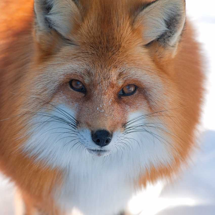 Fox represent fire