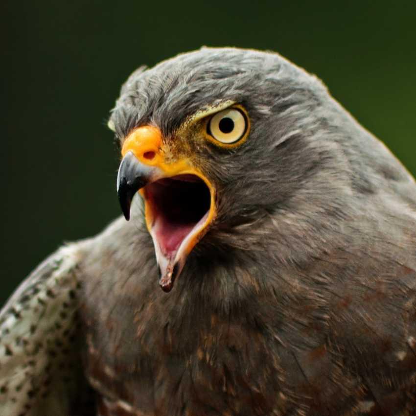 Hawk represent fire