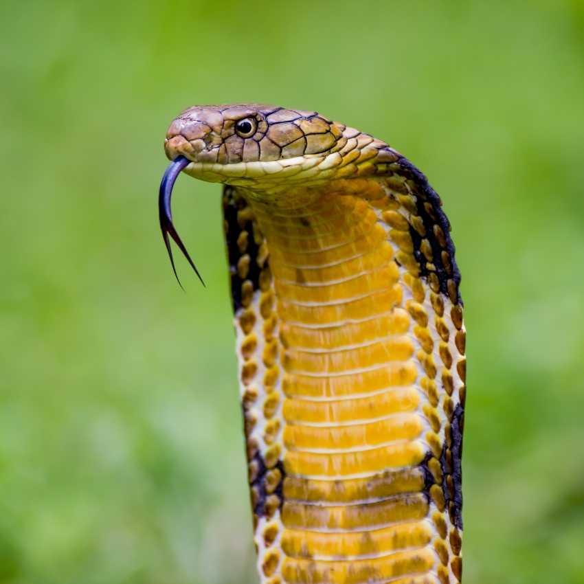 King Cobra represent fire