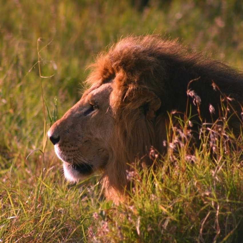 Lion represent fire