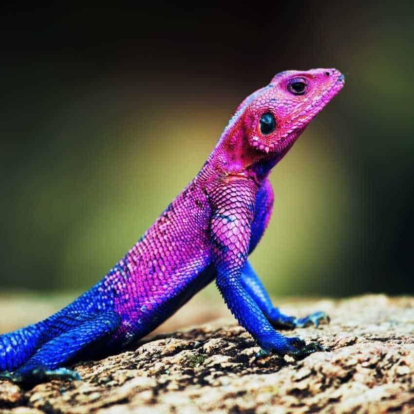 Lizard represent fire