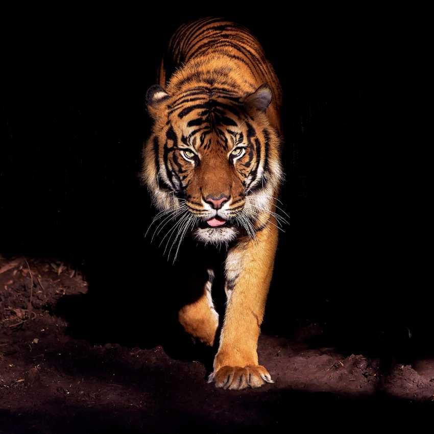 Tiger represent fire