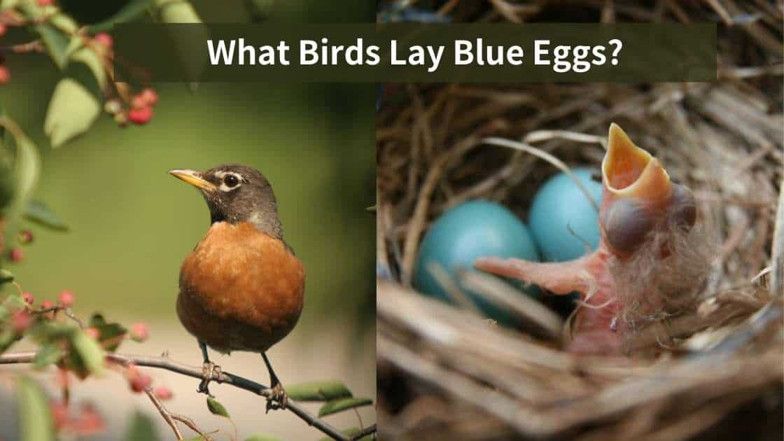 What Birds Lays Blue Eggs