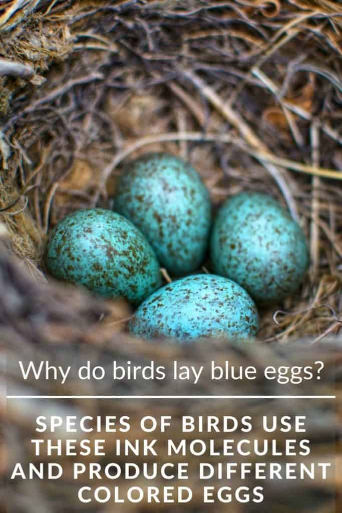 birds nest blue eggs