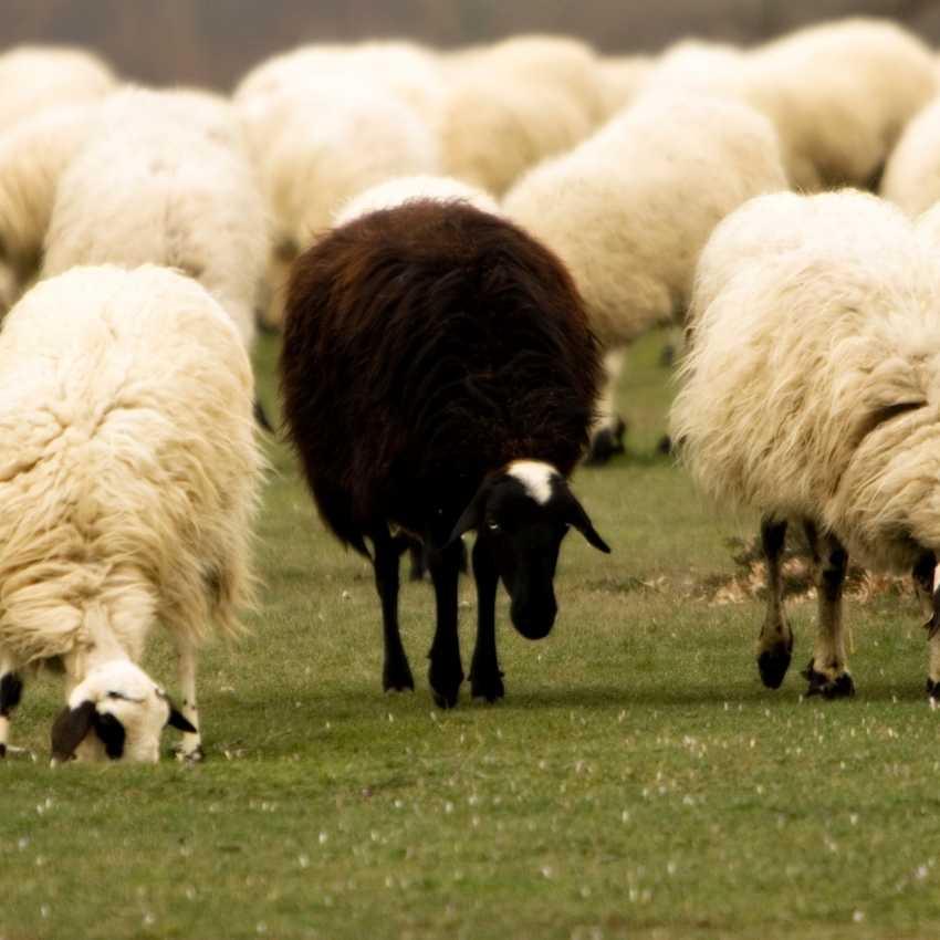 black sheep symbolism