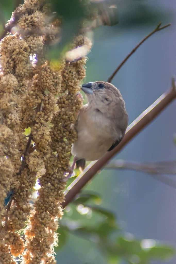 brown finch meaning