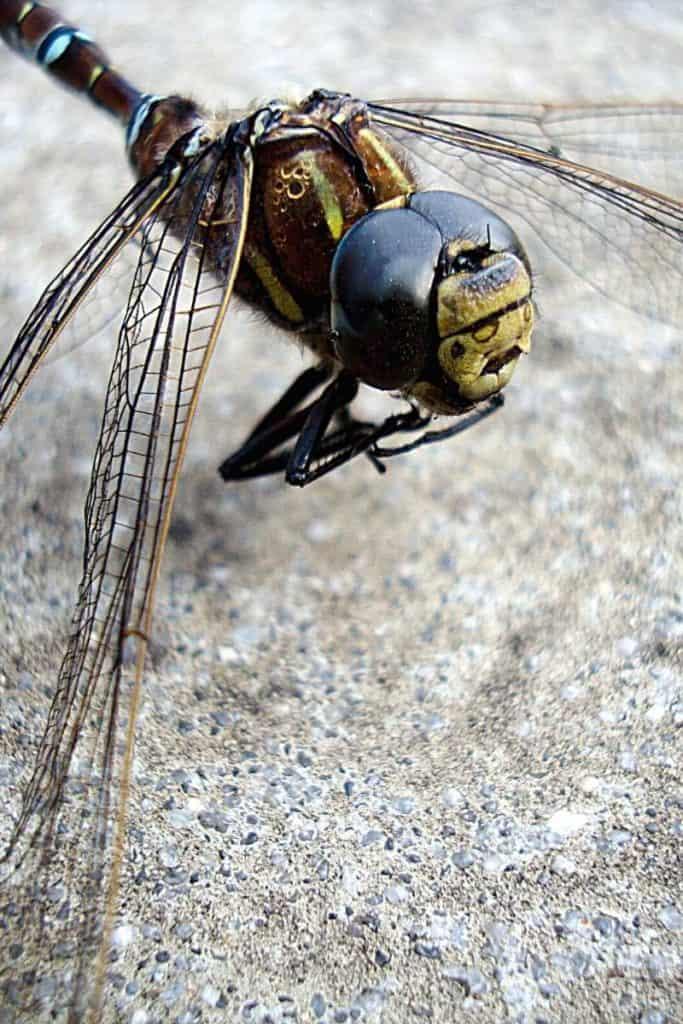 dead dragonfly in dreams