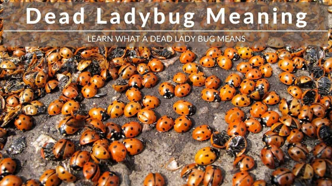 dead ladybug meaning