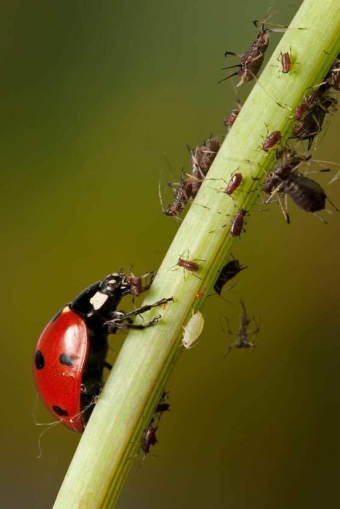 dead ladybug symbolism
