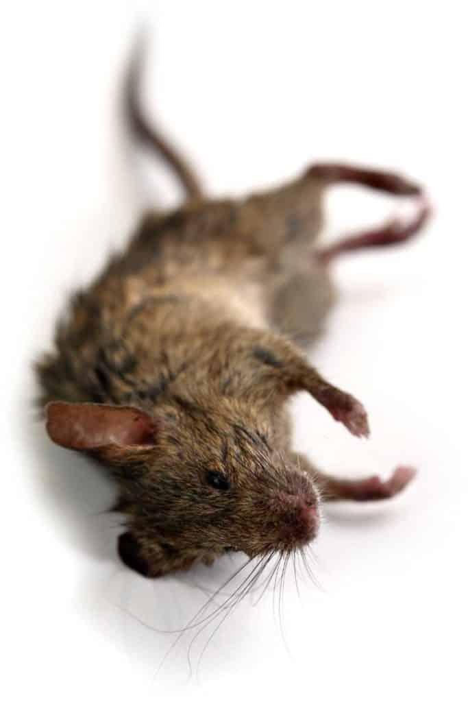 dead mouse omen
