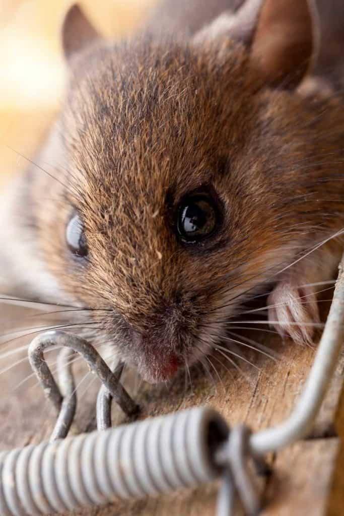 dead mouse spirit animal