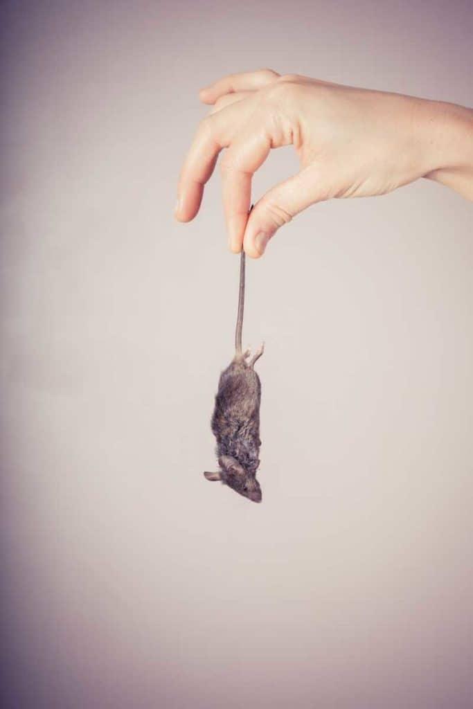 dead mouse symbolism