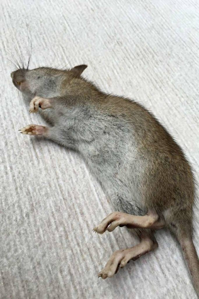dead rat omen
