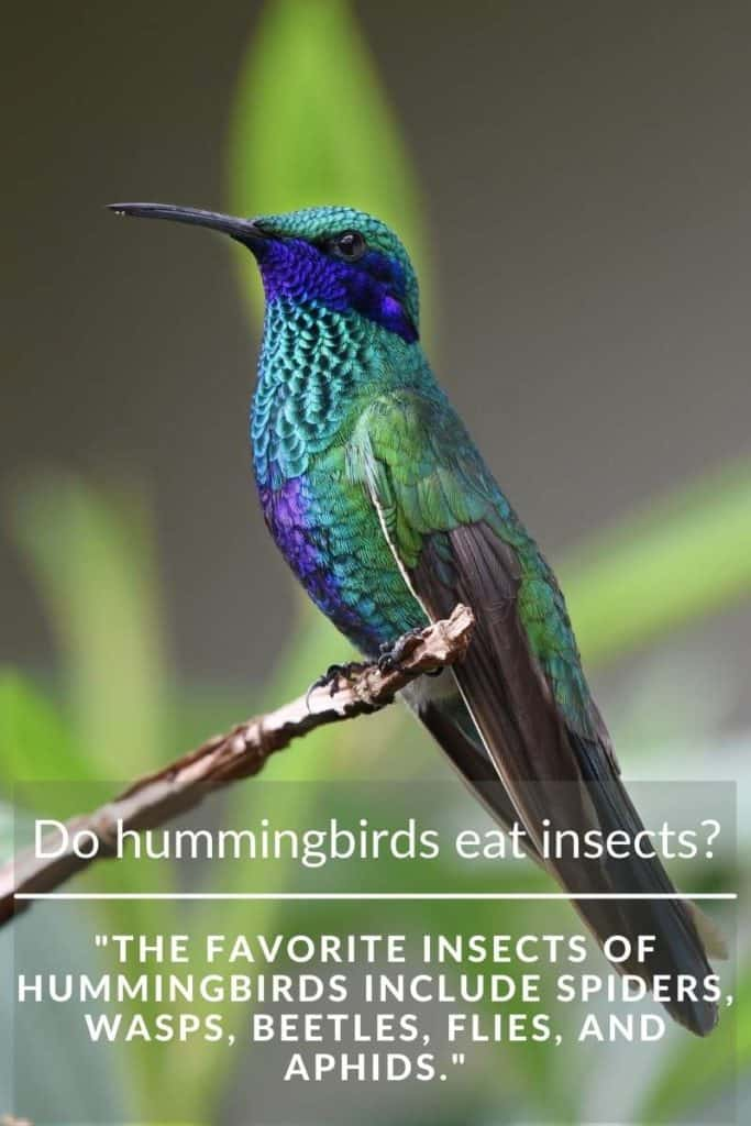 hummingbird eat insects