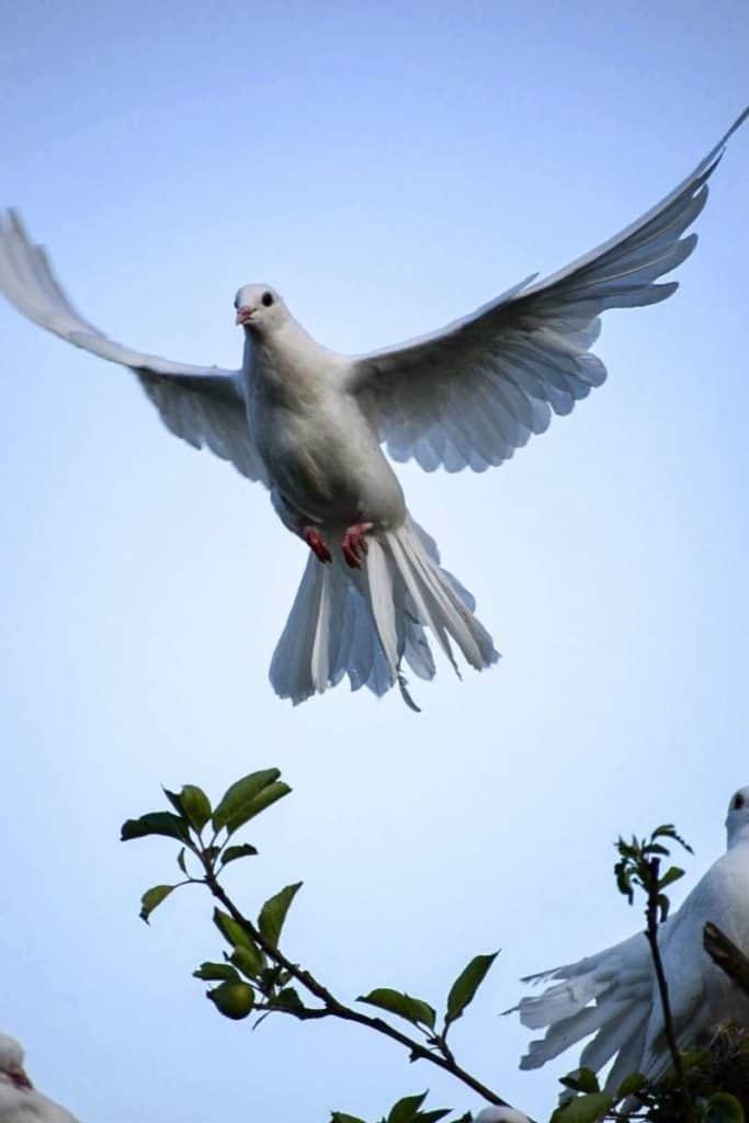 dove representing peace