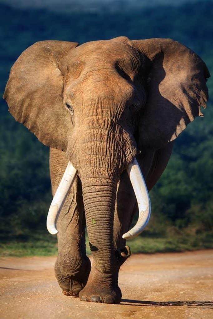 elephant representing peace