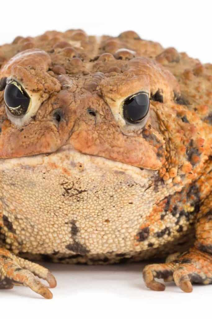 fat ugly toad