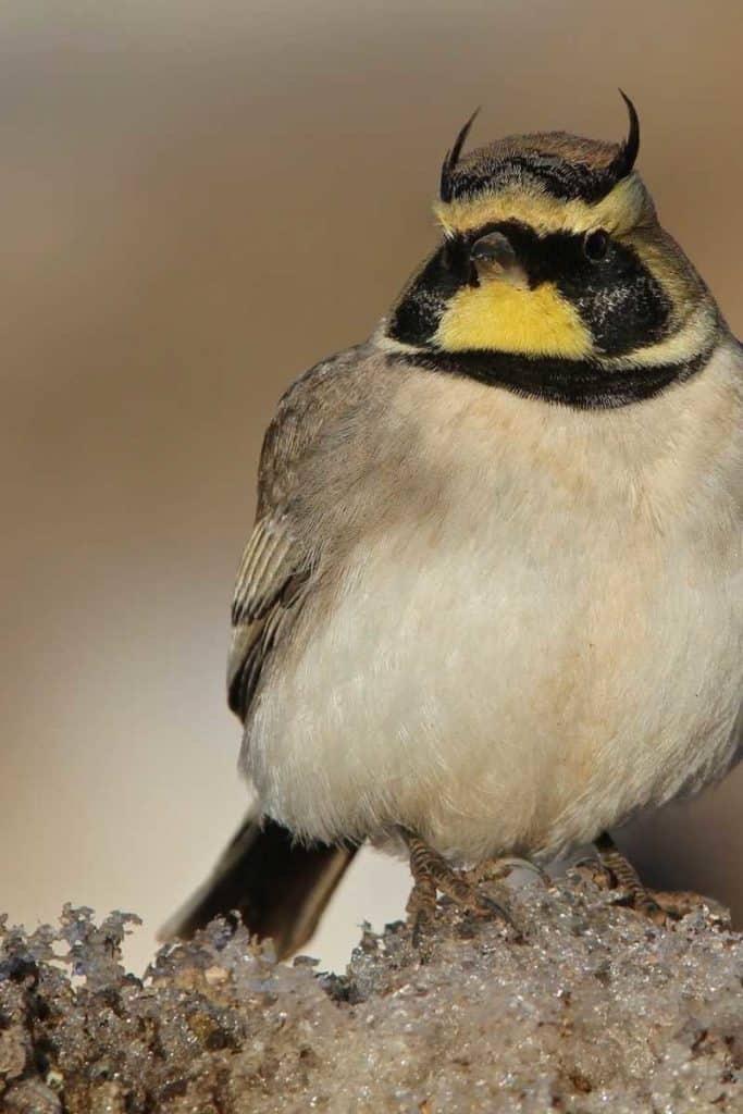 horned lark symbolism