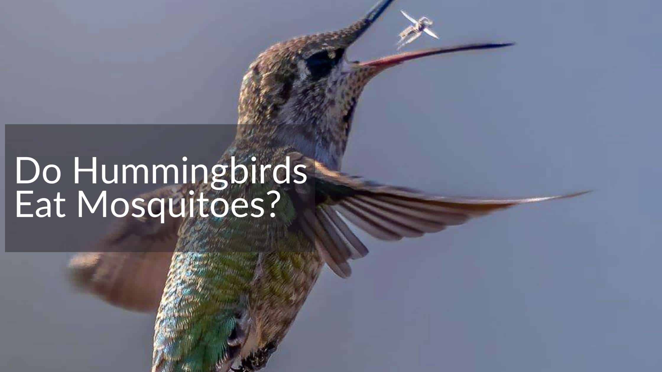 hummingbird eating mosquito