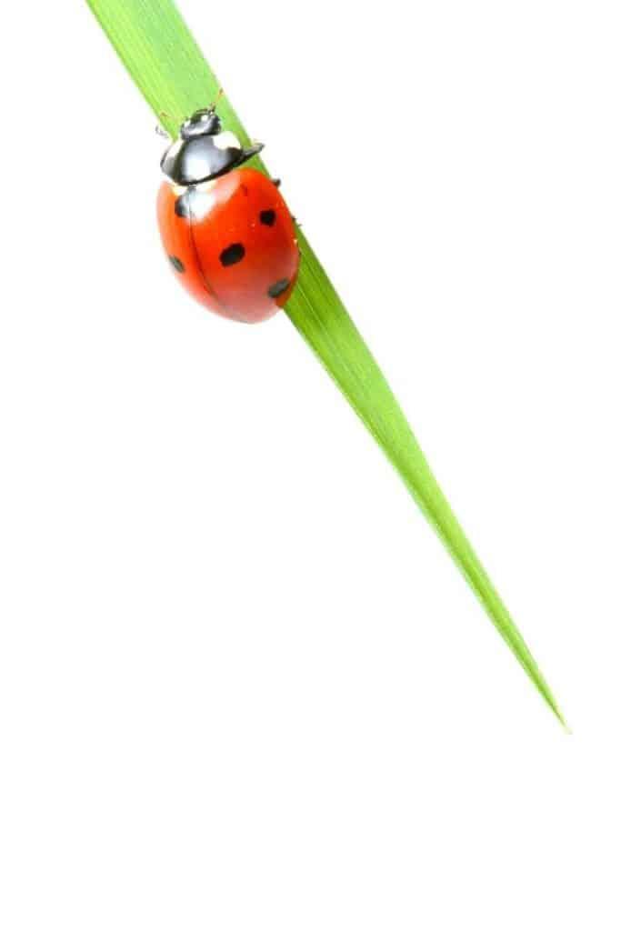 ladybug different cultures