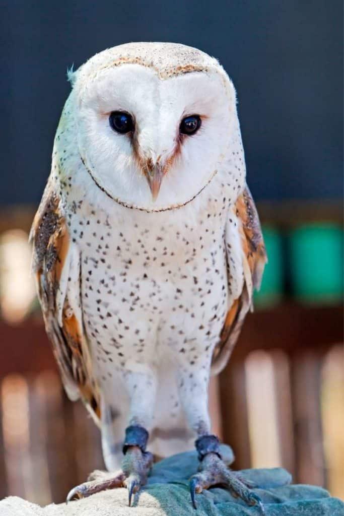 owl representing peace
