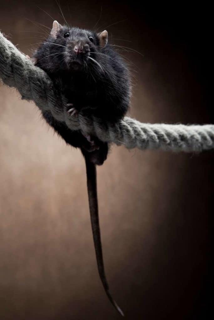 dead rat symbolism