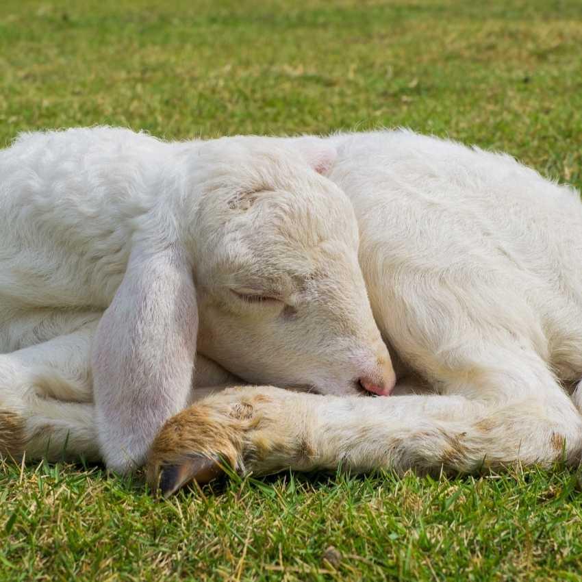 sheep dream