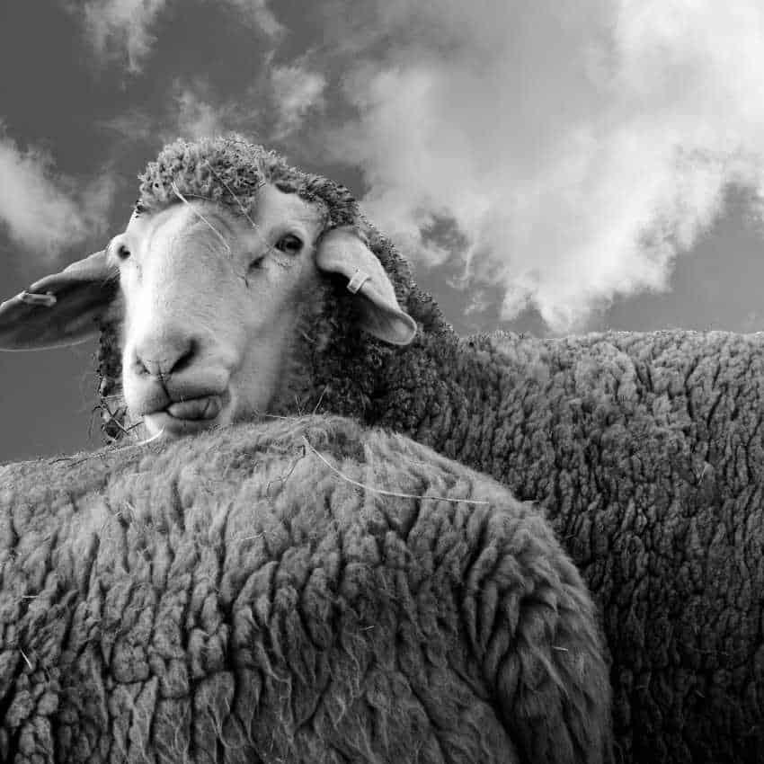 sheep person traits