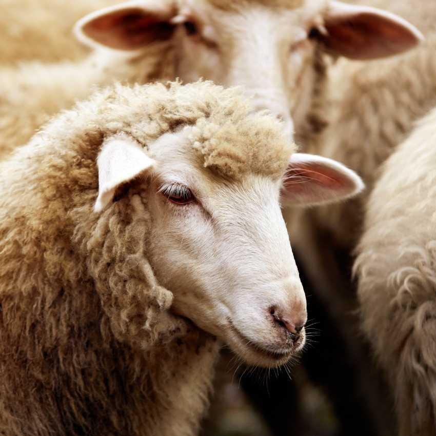 sheep totem animal