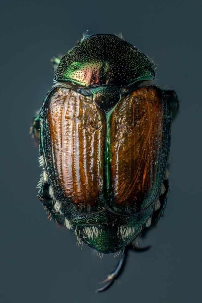 symbolism beetles