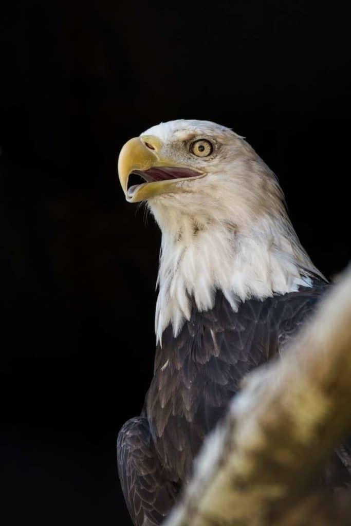the eagle freedom