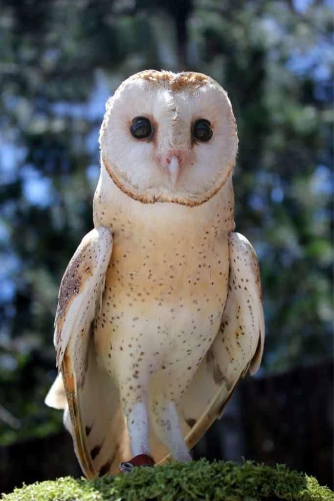 white owl crossing path