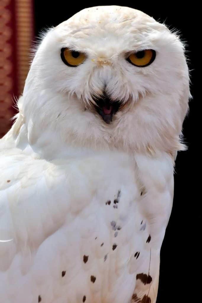 white owl in dream
