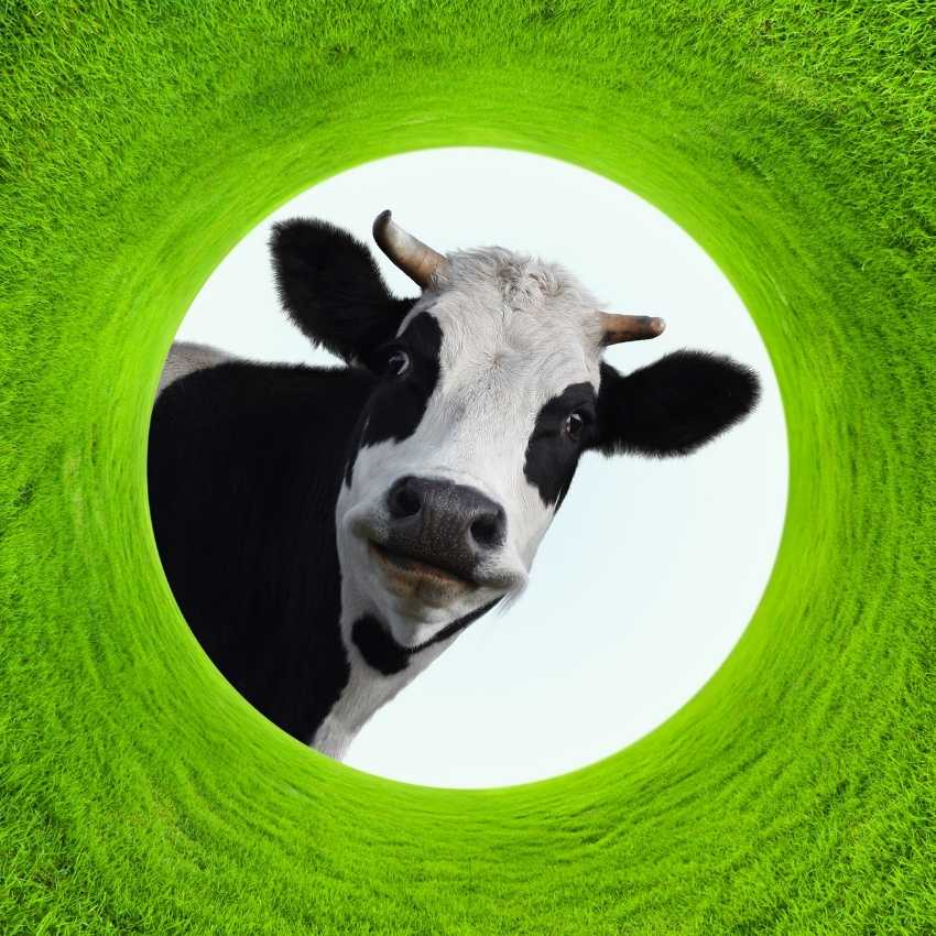 Cow represent hope