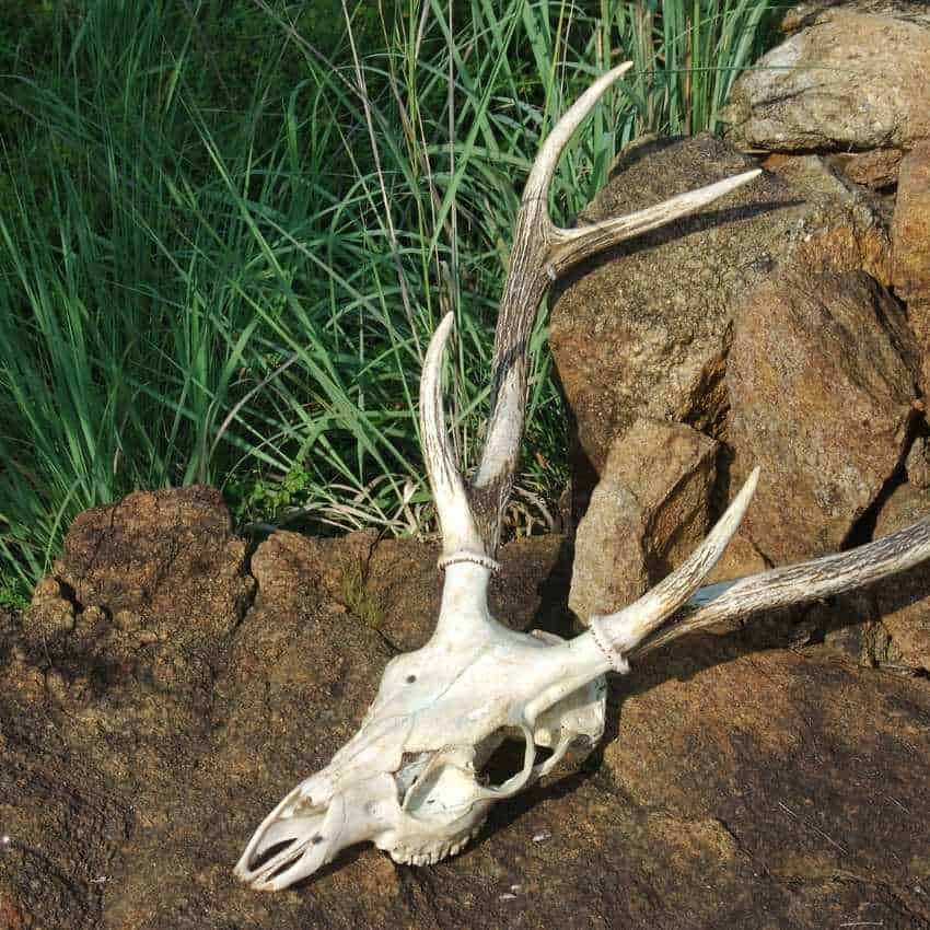 Dead-deer-in-Asian-Culture