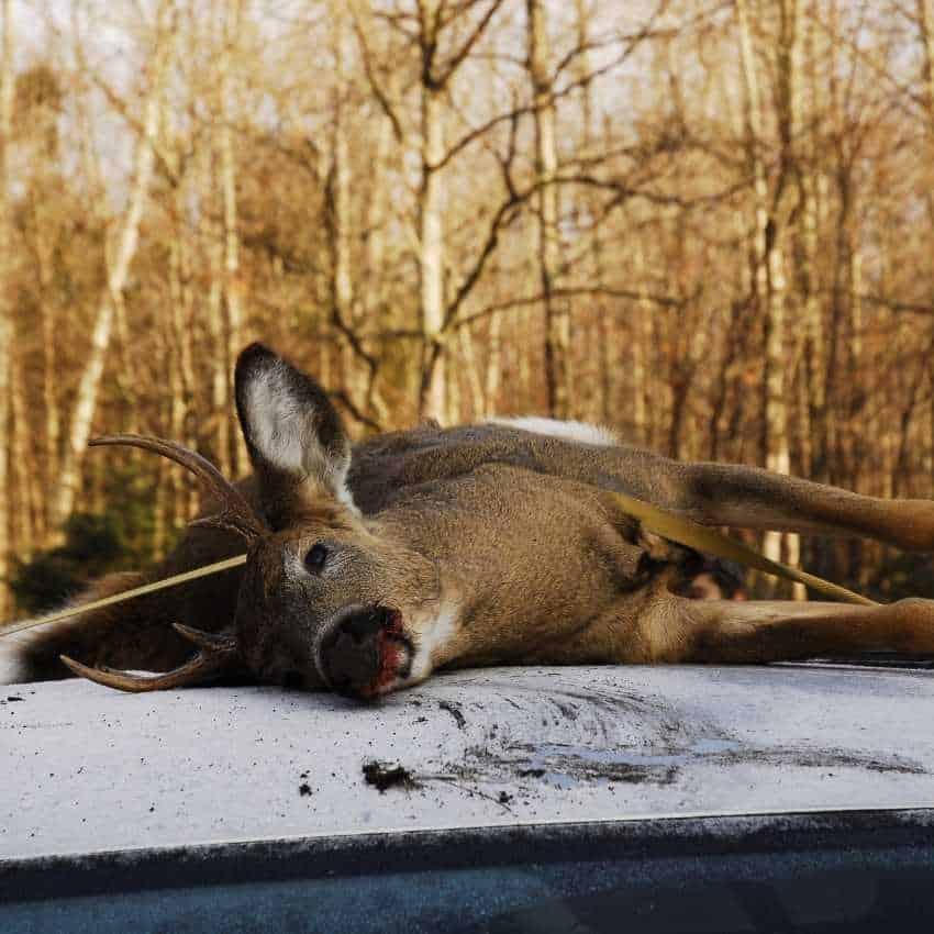 Dead-deer-in-different-culture